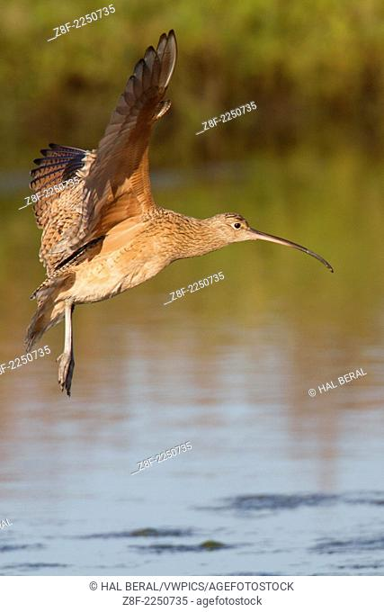 Long-Billed Curlew with wings out landing.(Numenius americanus).Back Bay Reserve, California