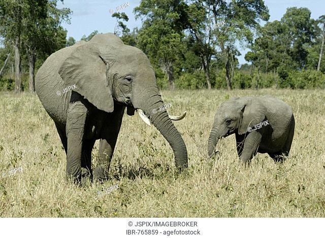 African Bush Elephant (Loxodonta africana), Masai Mara, Kenya, Africa