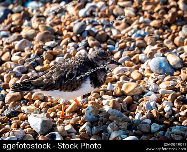 Ruddy Turnstone (Arenaria interpres) on the Beach in Hastings