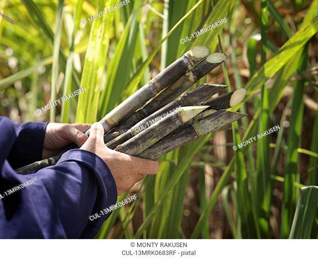 Hands Holding Harvested Sugar Cane