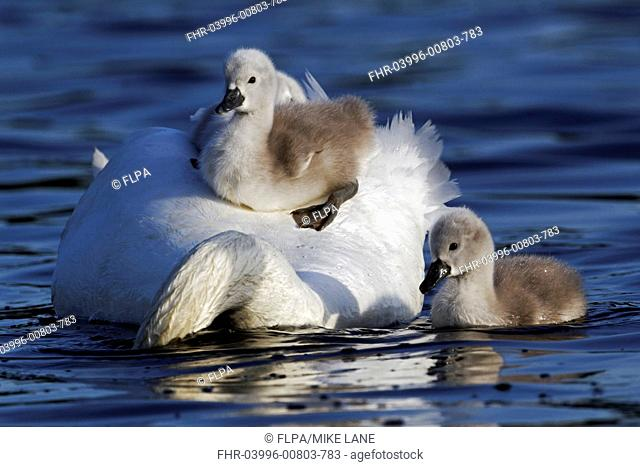 Mute Swan Cygnus olor adult female, carrying cygnets on back, swimming, Bushy Park, Richmond upon Thames, London, England, may