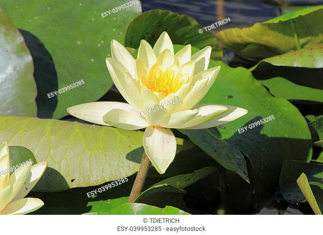 Blooming water lily (Nymphaea alba) in a pond