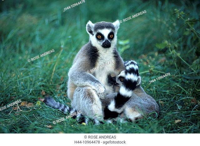 Monkeys, Africa, prosimian, Katta, Kattas, Lemur, Madagascar, primates, horizontal, mammals, animals, affection, catta, sit, two Africa