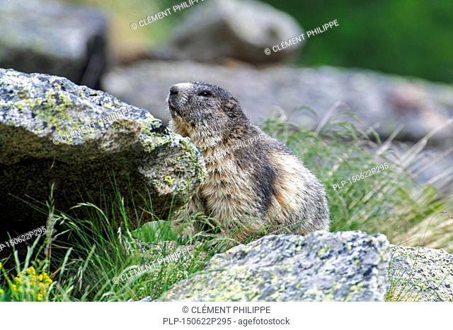 Alpine marmot (Marmota marmota) hiding behind rock in the Alps