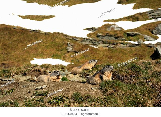 Alpine Marmot,Marmota marmota,Grossglockner Massif,National Park Hohe Tauern,Austria,Alps,Europe,adult,resting,with youngs,social behaviour,Portrait