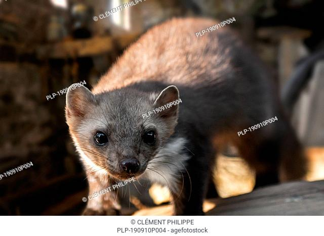 Close-up of beech marten / stone marten / house marten (Martes foina) foraging in farm building / shed / barn / attic