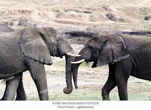 Two subadult elephants play fighting (Loxodonta africana) Queen Elizabeth National Park, Uganda, Africa