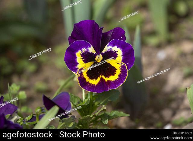 France, Brittany, Ille et Vilaine, Garden Pansy (Viola x wittrockiana) in bloom in a garden
