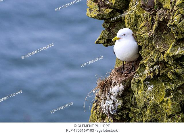 Black-legged kittiwake (Rissa tridactyla) sleeping on rock ledge in sea cliff face at seabird colony, Scotland, UK