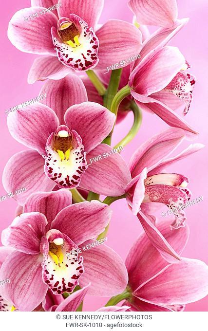 Orchid, Cymbidium, Studio shot of pink flowers shing stamen