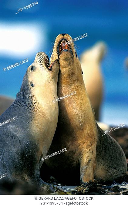 Australian Sea Lion, neophoca cinerea, Adults playing on Beach, Australia