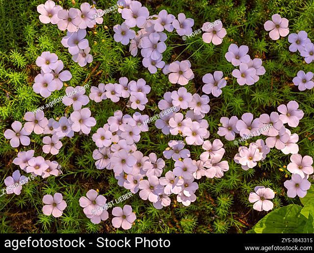 White flax (Linum suffruticosum). KIT Karlsruhe, Baden Wuerttemberg, Germany