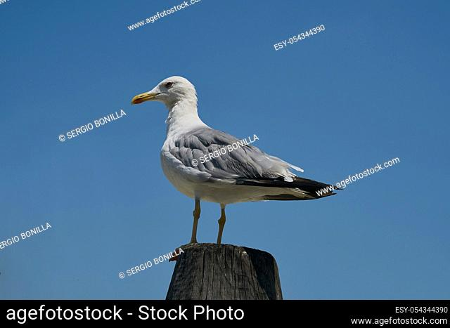 White Gull looks at the blue sky as she waits. Image taken in Venice (Italy)