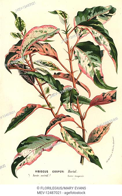Chinese hibiscus or China rose, Hibiscus rosa-sinensis (Hibiscus cooperi). Handcoloured lithograph from Louis van Houtte and Charles Lemaire's Flowers of the...
