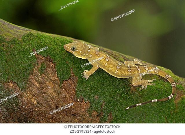 Prashad gecko, Hemidactylus prashadi, an endemic species of Goa, Western Ghats, India