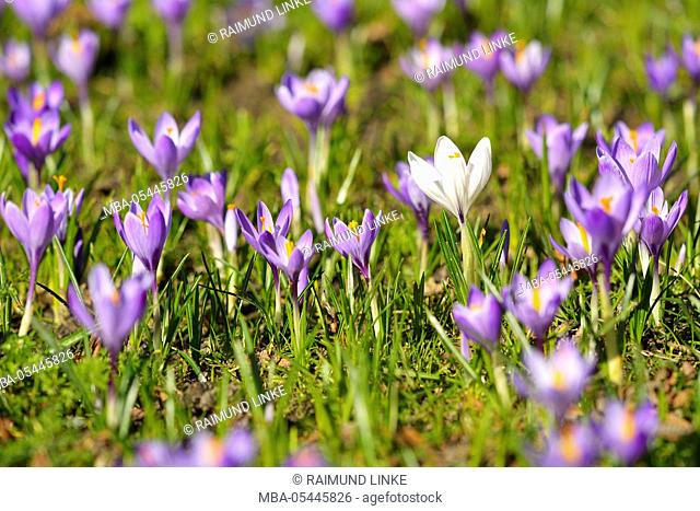 Crocus in the Spring, Husum Schlosspark, Schleswig Holstein, Germany