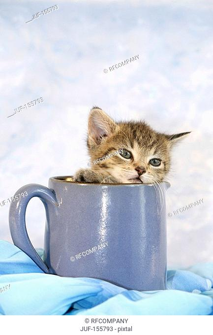 domestic cat - kitten in cup