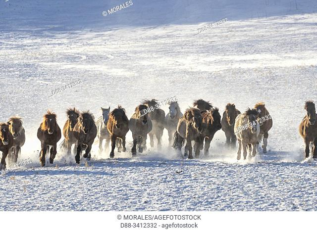 China, Inner Mongolia, Hebei Province, Zhangjiakou, Bashang Grassland, horsse in a meadow covered by snow