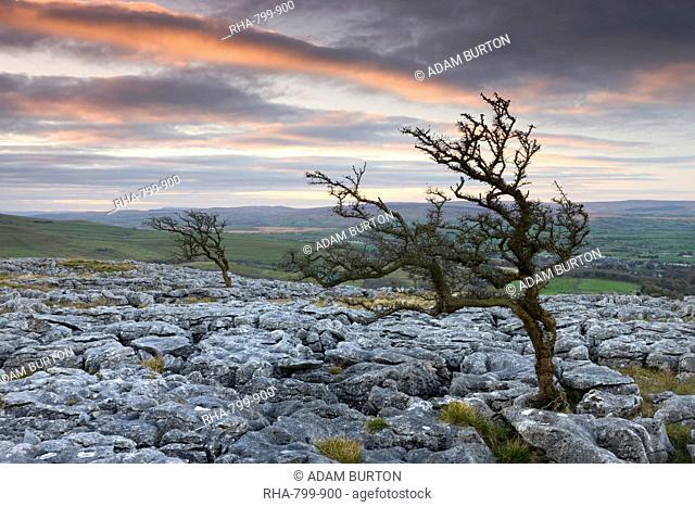 Twisted hawthorn trees growing through the limestone pavement on Twistleton Scar, Yorkshire Dales National Park, Yorkshire, England, United Kingdom, Europe