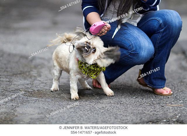 A young caucasian woman with her small dog, a Shih-tzu terrier, in Spokane, Washington, USA