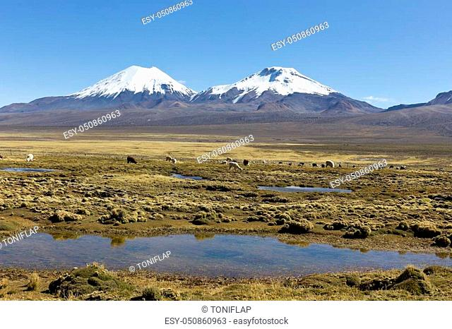 Bolivian panoramic: landscape of the Andes Mountains, with snow-covered volcano in the background, and a group of llamas grazing in the highlands