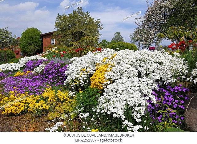 Rural garden in the spring with herbaceous plants like white Evergreen Candytuft (Iberis sempervirens), yellow Basket of Gold or Golden Alyssum (Alyssum...