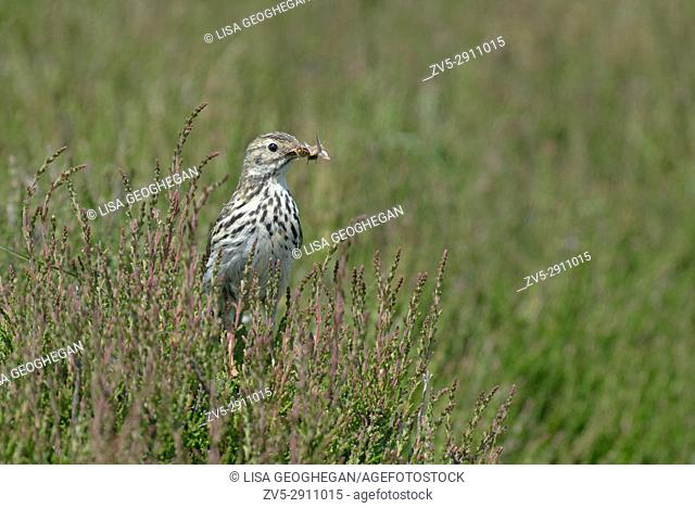 Meadow Pipit - Anthus pratensis perches on Heather- Calluna vulgaris with food. Uk