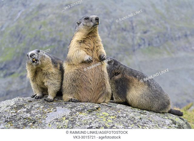 Alpine Marmot, Marmota marmota, three animals, Hohe Tauern National park, Austria