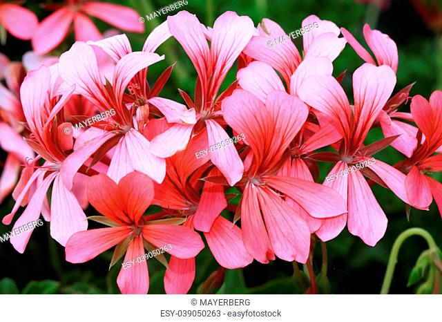 Geranium peltatum or French hanger is very drought resistant