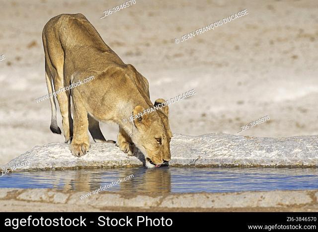Lioness (Panthera leo), adult female, drinking at the waterhole, Etosha National Park, Namibia, Africa