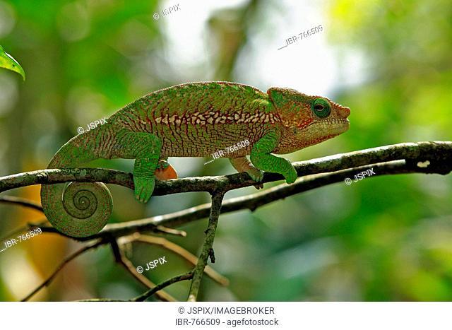Panther Chameleon (Furcifer pardalis, Chamaeleo pardalis), adult male, Madagascar, Africa