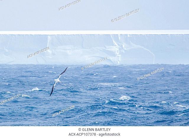 Seabird soaring above choppy seas, South Georgia and the South Sandwich Islands