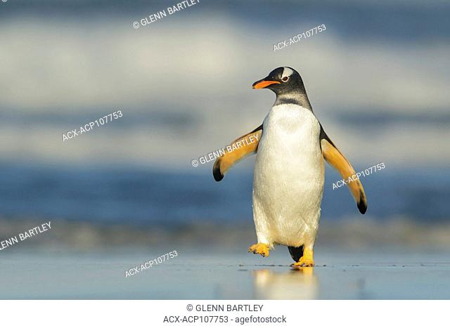 Gentoo Penguin (Pygoscelis papua) emerging from the ocean in the Falkland Islands