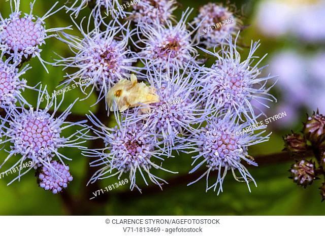 Ambush Bug Phymata erosa Waiting on Ageratum Eupatorium coelestinum at Corolla, NC USA Outer Banks