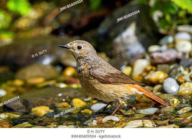common redstart (Phoenicurus phoenicurus), female bathing, Germany, Mecklenburg-Western Pomerania