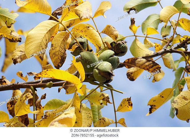 Juglans regia, Walnuss, Walnut, Herbstfärbung