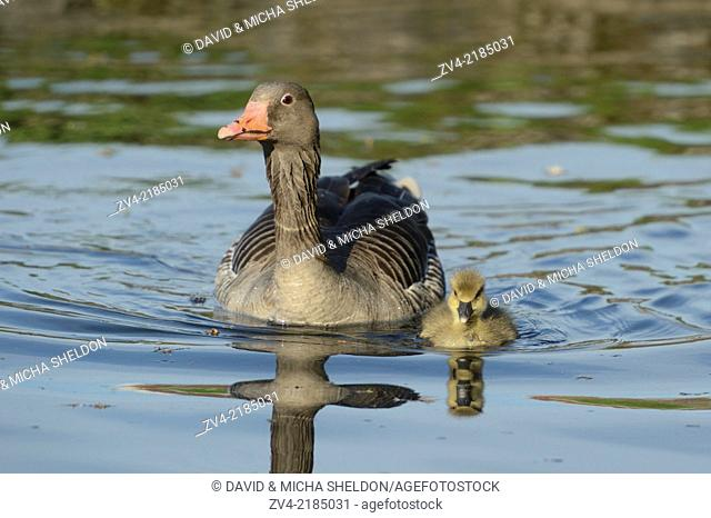 Close-up of a Greylag Goose (Anser anser anser) mother with her chick swimming in the water in spring