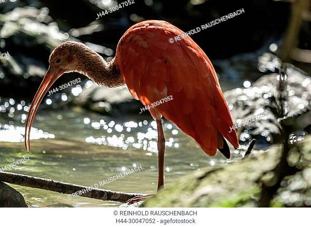 Der Rote Sichler - Eudocimus ruber - lebt in der Großen Freivoliere des Tierparks