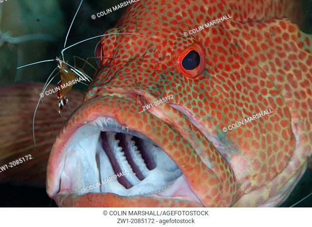 Leopard Grouper (Cephalopholis leopardus) being cleaned by Hump-back Cleaner Shrimp (Lysmata amboinensis) at Seraya in Bali in Indonesia