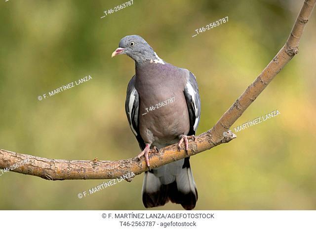 Common wood pigeon (Columba palumbus). Parque Regional del Rio Guadarrama. Madrid Province. Spain