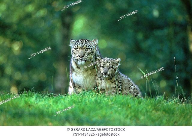 SNOW LEOPARD OR OUNCE uncia uncia, FEMALE WITH CUB