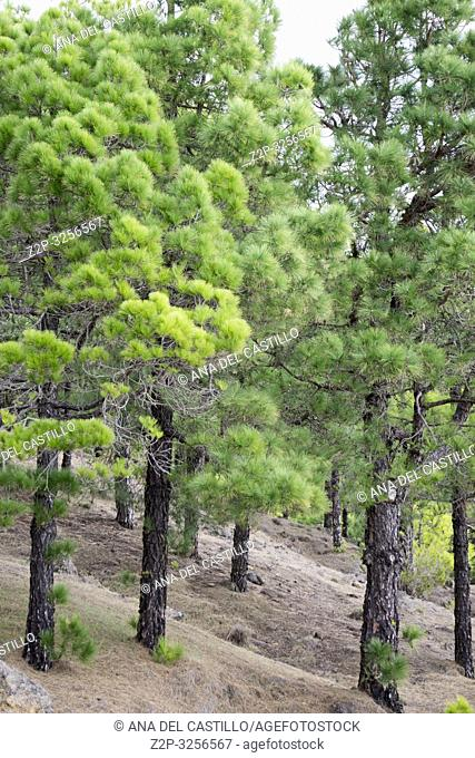 Canary pine forest El Hierro Canary islands Spain