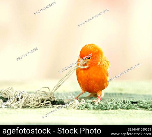 Domestic Canary. A red bird collects carpet fringes as nesting material. Germany