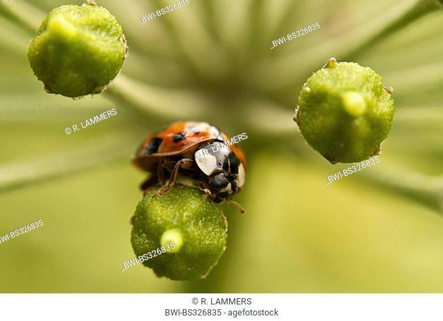 multicoloured Asian beetle (Harmonia axyridis), on ivy flowers, Germany, North Rhine-Westphalia