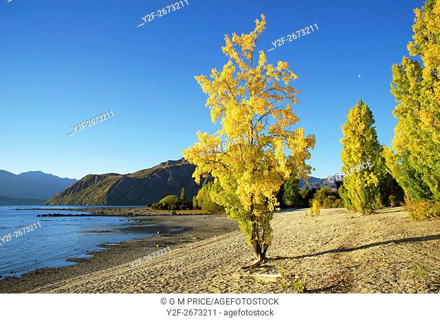 Autumn poplar on stony beach beside Lake Wanaka, New Zealand