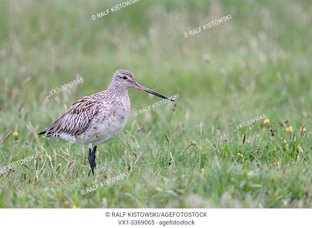 Bar-tailed Godwit / Pfuhlschnepfe ( Limosa lapponica ) in spring, migratory wader bird, resting on a wet meadow, wildlife, Europe