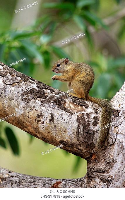 Tree Squirrel, Smith's bush squirrel, yellow-footed squirrel, (Paraxerus cepapi), adult on tree, Kruger Nationalpark, South Africa, Africa