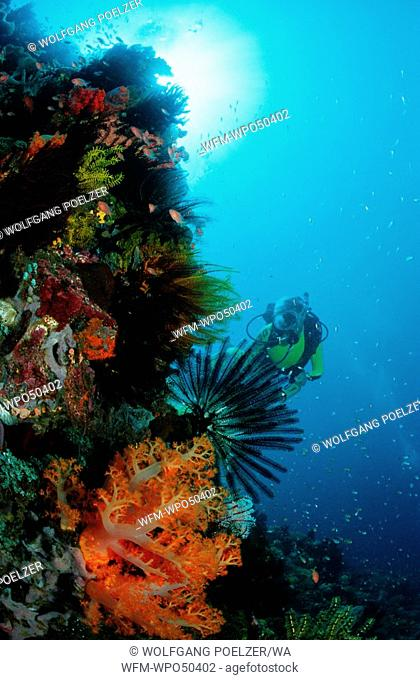 Scuba diver in coral reef, Dendronephthya sp., Komodo Island Indian Ocean, Indonesia