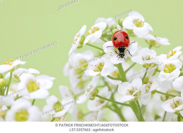 ladybird, Coccinellidae, on sweet alison flowers, Lobularia maritima, Switzerland
