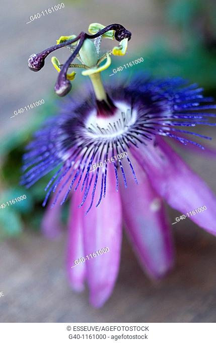 Passion-flowers (Passiflora coerulea)